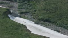 Aerial shot of Grizzly Bears playfighting in the Arctic National Wildlife Refuge