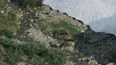 UHD Aerials of grizzly bears playfighting in the arctic national wildlife refuge ANWR