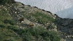 Pair of Grizzly Bears walking along a creek in the Arctic National Wildlife Refuge
