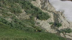 Aerial shot of Grizzly Bears walking through the Arctic National Wildlife Refuge