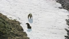 Aerial shot of Grizzly Bears on a frozen river in the Arctic National Wildlife Refuge run from the camera