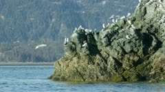 Seabirds flocking near a rock in Kachemak Bay, Southcentral Alaska