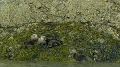 Sea Otters cuddling, pup possibly nursing, on a rock in Kachemak Bay, Southcentral Alaska
