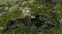Sea Otters cuddling (possibly mother & pup) on a rock in Kachemak Bay, Southcentral Alaska