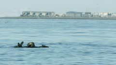 Sea Otters, possibly a mother and pup, in Kachemak Bay, Southcentral Alaska