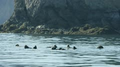 Sea Otters in Kachemak Bay, Southcentral Alaska