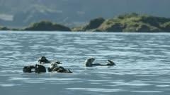 Sea Otters in Kachemak Bay, Southcentral Alaska