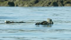Sea Otters, including mother & pup, in Kachemak Bay, Southcentral Alaska