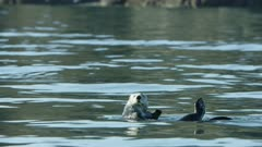 Sea Otter rolling in the waters of Kachemak Bay, Southcentral Alaska