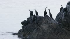 Cormorants perched on a rock  at Kachemak Bay, Alaska