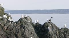 Cormorants and Seagulls perched on a rock  at Kachemak Bay, Alaska