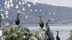 Cormorants and Seagulls perched on a rock  at Kachemak Bay, Alaska