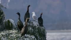 Cormorants and Seagulls perched on a rock  at Kachemak Bay, Alaska; one Cormorant poops