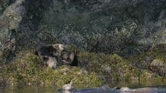 Sea Otters cuddling on and Seagulls flocking around a rock in Kachemak Bay, Alaska