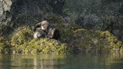 Sea Otters cuddling on a rock in Kachemak Bay, Alaska