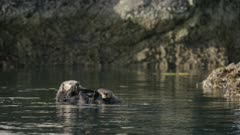 Pair of Sea Otters swimming near a rock in Kachemak Bay, Alaska