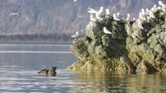 Sea Otters and Seagulls in Kachemak Bay, Alaska