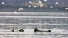 Pair of Sea Otters swimming in Kachemak Bay, Alaska