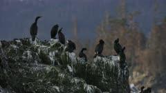 Cormorants perched on a rock  at Kachemak Bay, Alaska