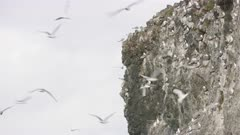 Seagulls flocking around a cliff at Kachemak Bay, Alaska