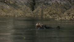 Pair of Sea Otters swimming in Kachemak Bay, Alaska