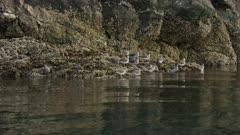 Surfbirds foraging on the rocks in Kachemak Bay, Alaska