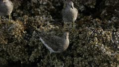 Surfbirds on the rocks in Kachemak Bay, Alaska