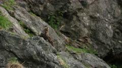 Golden Eagle perched on the rocks of Kachemak Bay, Alaska