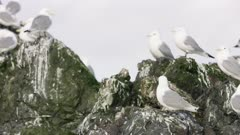 Seagull perched on a rock  at Kachemak Bay, Alaska