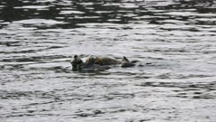 Sea Otters swimming in Kachemak Bay, Alaska; possibly mother and pup