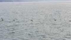 Common Murres in flight over the waters of Kachemak Bay, Alaska
