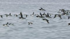 Common Murres in flight over the waters of Kachemak Bay, Alaska