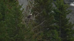 Aerial shot of a Bald Eagle perched on a nest in early springtime in Alaska