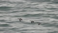 Aerial shot of Merganser Ducks migrating north in Alaska in early spring