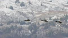 Aerial shot of Merganser Ducks migrating north in Alaska in early spring