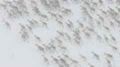Aerial of Caribou migrating in winter snow startled by helicopter near Bethel, Alaska