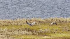 Sandhill Cranes migrating over the Yukon Delta in Western Alaska