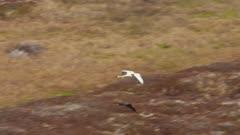 Swan migrating over Western Alaska in the spring
