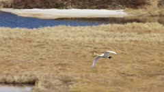 Swan migrating over Western Alaska in the spring lands in the delta water