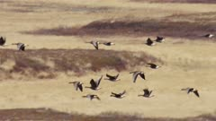 Flock of Greater White-fronted Geese migrating during spring in Alaska