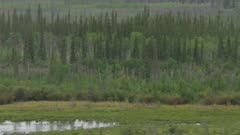 series of UHD aerials air to air  shots of swans flying over Alaska arctic boreal forest