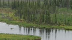 Aerial shot of Swans swimming in a river winding through a boreal forest in Interior Alaska