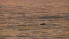 Small group of Muskox on Alaska's North Slope