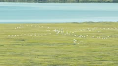Migrating Snow Geese flying over Alaska's North Slope