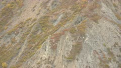 Dall's Sheep in the Brooks Range during fall