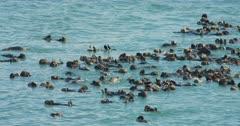 Large Sea Otter Raft