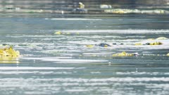 UHD stabilized shot of sea otters in prince william sound alaksa resting in kelp