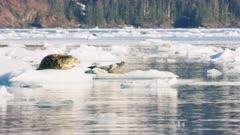 UHD 8k footage of harbor seals floating on icebergs in Prince William Sound Alaska