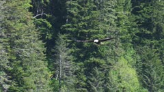 UHD slow motion of bald eagle flying during herring spawn near green prince willima sound forest