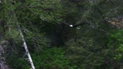 UHD shot of Bald Eagle in forest in Prince William Sound Alaska